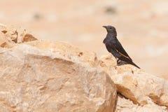 Schwarzer Vogel auf Wüsten-Felsen in Masada Israel Palestine Stockfotografie