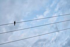 Schwarzer Vogel, der auf elektrischer Leitung sitzt Lizenzfreies Stockbild