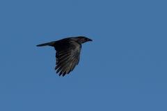 Schwarzer Vogel im Flug Stockbild