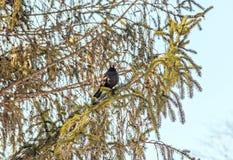 Schwarzer Vogel mit dem orange Schnabel, der oben auf einem Kiefernniederlassungsbaum, Abschluss sitzt Stockbild