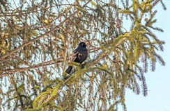 Schwarzer Vogel mit dem orange Schnabel, der oben auf einem Kiefernniederlassungsbaum, Abschluss sitzt Lizenzfreies Stockbild