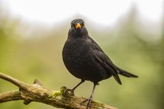 Schwarzer Vogel, Turdus merula Ein Vogel mit einem orange Schnabel stockfotos