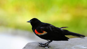Schwarzer Vogel u. Blured Hintergrund Lizenzfreie Stockfotografie