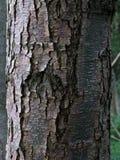 Schwarzer Vogelkirschbaumstamm lizenzfreies stockfoto
