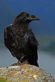 Schwarzer Vogelrabe, Corvus corax, sitzend auf dem grauen Stein mit gelbem Moos Stockfotos