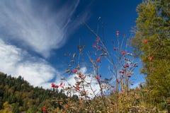 Schwarzer Waldebereschen, die in den Himmel wachsen stockbild