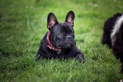schwarzer Welpe der französischen Bulldogge, der in gras legt lizenzfreie stockfotografie