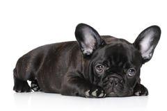 Schwarzer Welpe der französischen Bulldogge Stockbild