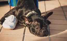Schwarzer Welpe der französischen Bulldogge, der auf Pflasterung zwischen weiblichen Beinen liegt lizenzfreies stockbild