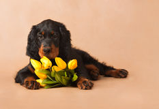 Schwarzer Welpe und gelbe Tulpen Lizenzfreies Stockfoto