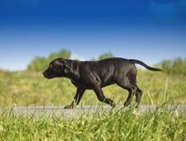 Schwarzer Welpenhund Stockfotos
