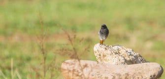 Schwarzer Wiederanlaufsvogel auf einem Felsen Lizenzfreies Stockbild