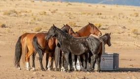 Schwarzer wilder Mustang, der heraus für seine Stuten aufpasst stockbild