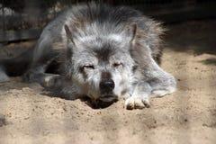 Schwarzer Wolf Lizenzfreie Stockbilder