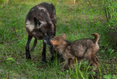 Schwarzer Wolf (Canis Lupus) grüßt ihren Welpen Lizenzfreie Stockfotografie