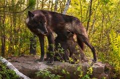 Schwarzer Wolf (Canis Lupus) steht auf Felsen und zieht ihr Welpen ein Lizenzfreie Stockfotos