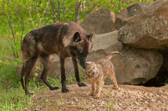Schwarzer Wolf (Canis Lupus) steht bereit, während Welpe weg rüttelt Lizenzfreies Stockbild