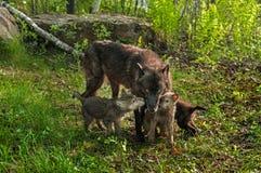 Schwarzer Wolf (Canis Lupus) und drei Welpen Stockfoto