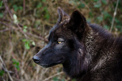 Schwarzer Wolf Look Stockfotografie