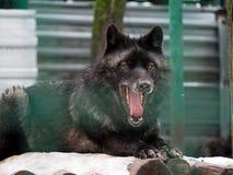 Schwarzer Wolf mit geöffnetem Mund voll von Zähnen und von großer roter Zunge lizenzfreie stockfotos