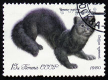 Schwarzer Zobel - Martes zibellina, circa 1980 Stockfoto