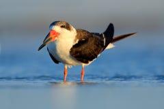 Schwarzes Abstreicheisen in der Florida-Küste, USA Vogel im Naturseelebensraum Trinkwasser des Abstreicheisens mit offenen Flügel Lizenzfreies Stockbild