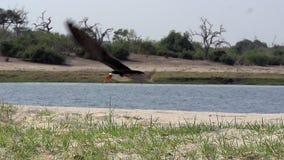 Schwarzes Abstreicheisen, Rynchops Niger, Erwachsener im Flug, Chobe-Fluss, entfernend Okavango-Delta in Botsana, stock video