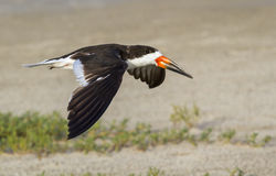 Schwarzes Abstreicheisen (Rynchops Niger) fliegend über den Strand lizenzfreie stockfotografie