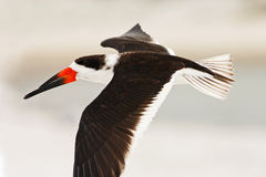 Schwarzes Abstreicheisen, Rynchops Niger, schöne Seeschwalbe in der Fliege Schwarzes Abstreicheisen in der Florida-Küste, USA Vog Stockfoto