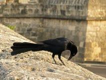 Schwarzes angebundene Vogelbeobachtung etwas Lizenzfreies Stockfoto