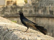 Schwarzes angebundener Vogel an der Wand Stockfotografie