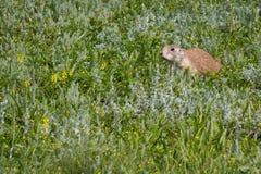 Schwarzes angebundenes Graslandmurmeltier Stockfotografie
