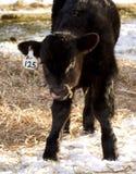 Schwarzes Angus-Kalb mit der Zunge, die heraus haftet Lizenzfreies Stockfoto