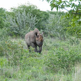 Schwarzes aufladendes Nashorn, Namibia Lizenzfreies Stockfoto