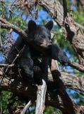 Schwarzes Bärenjunges Stockbild