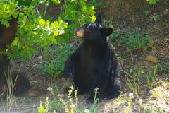 Schwarzes Bärenjunges stockfotos