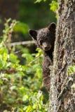 Schwarzes Bärenjunges Stockfoto