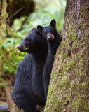 Schwarzes Bärenjunges Stockbilder