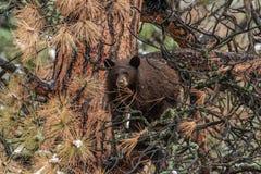 Schwarzes Bärenjunges Browns, das ein Auge auf Sachen hält stockfotografie