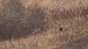 Schwarzes Bärenjunges, das über Feld im Herbst springt stock video footage