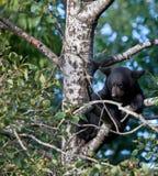 Schwarzes Bärenjunges, das in einem Baum sitzt Lizenzfreies Stockbild
