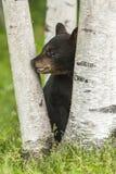 Schwarzes Bärenjunges in einem hohlen Klotz Lizenzfreies Stockbild