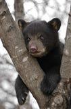 Schwarzes Bärenjunges hängt im Baum Lizenzfreies Stockfoto