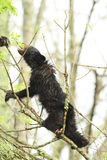 Schwarzes Bärenjunges im Baum Lizenzfreie Stockfotografie