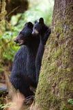 Schwarzes Bärenjunges und Mutter Lizenzfreies Stockfoto