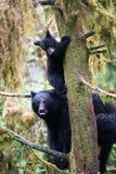 Schwarzes Bärenjunges und Mutter in einem Baum Lizenzfreies Stockfoto