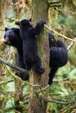 Schwarzes Bärenjunges und Mutter in einem Baum Stockfotos