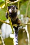 Schwarzes büscheliges Ohrseidenäffchen im Wald Lizenzfreies Stockfoto