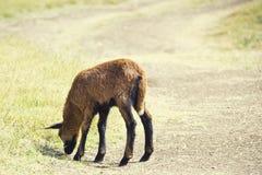 Schwarzes Bauch-Schaf-Schätzchen lizenzfreie stockbilder