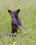 Schwarzes Bärenjunges, das in den Wildflowers spielt Stockbild
